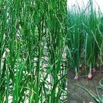 Harvest continues predicting excellent onion output in Rangpur