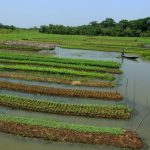 Pest infestations nominal in Bangladesh's floating gardens: FAO