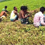 Super bumper groundnut output likely in Rangpur region