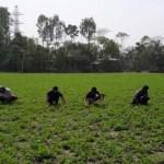 Peanut farming gains popularity in Jamalpur chars