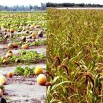 Bumper crop output brings smile to char people