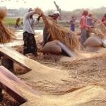 T- Aman crop in Rangpur envisages bumper production