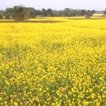 Around 3-lakh tonnes of oilseed production likely in Rajshahi division