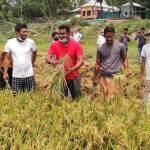BCL men assist in harvesting paddy in Manikganj