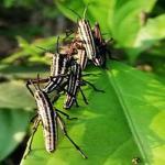 Teknaf insects not locusts; Teams visit spot