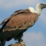 Vulture faces danger of extinction in Bangladesh