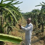 Indian state renames dragon fruit 'lotus'