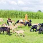 Goat disease causes concern among Kamalganj farmers