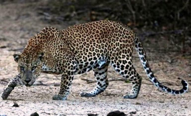 Toddler killed in leopard attack