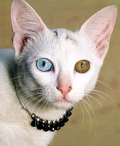 Heterochromia of the eye (heterochromia iridis or heterochromia iridum) is of two kinds. In complete heterochromia, one iris is a different color from the other. In partial heterochromia or sectoral heterochromia, part of one iris is a different color from its remainder.