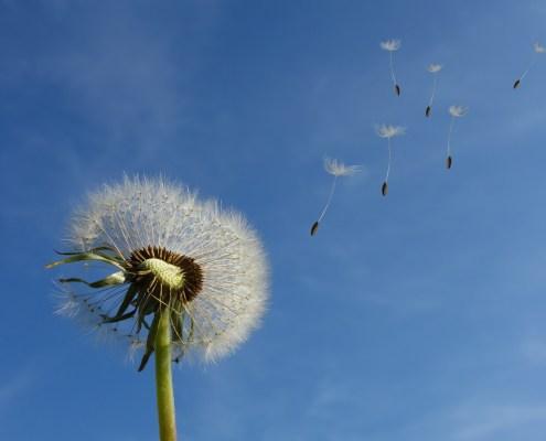 Dandelion Air Flow