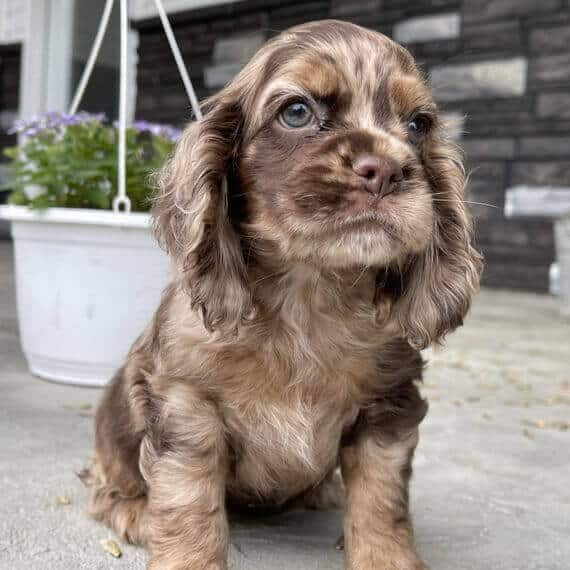 cocker spaniel puppies for sale in sc