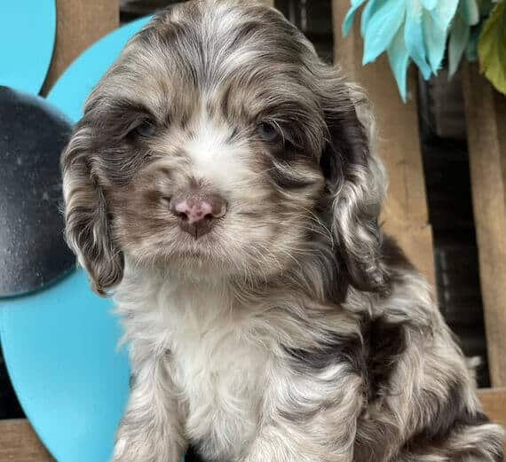 cocker spaniel puppies for sale in indiana