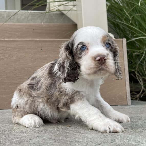 blue roan english cocker spaniel puppies for sale
