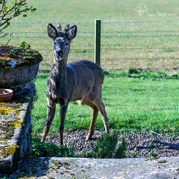Deer eating our garden! © Sue Todd 2015.
