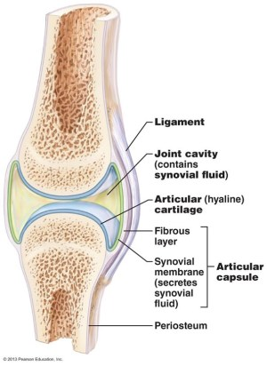 Structure of synovial joint – English for Physio