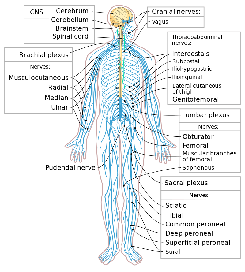 names of bones in human skeleton diagram nissan patrol 2003 stereo wiring peripheral nervous system – english for physio