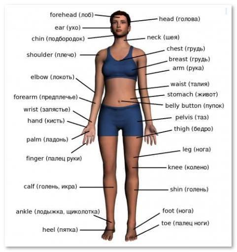 Cele 25 de organe principale ale corpului uman - Psihologie -