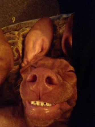 Fern- The very happy Vizsla