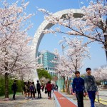 Clear skies and cherry blossoms in peak bloom were a welcome sight on the campus of Kangnam University. (Photo: Charles Ian Chun)