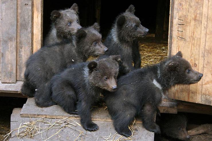 Bear Growers English Russia