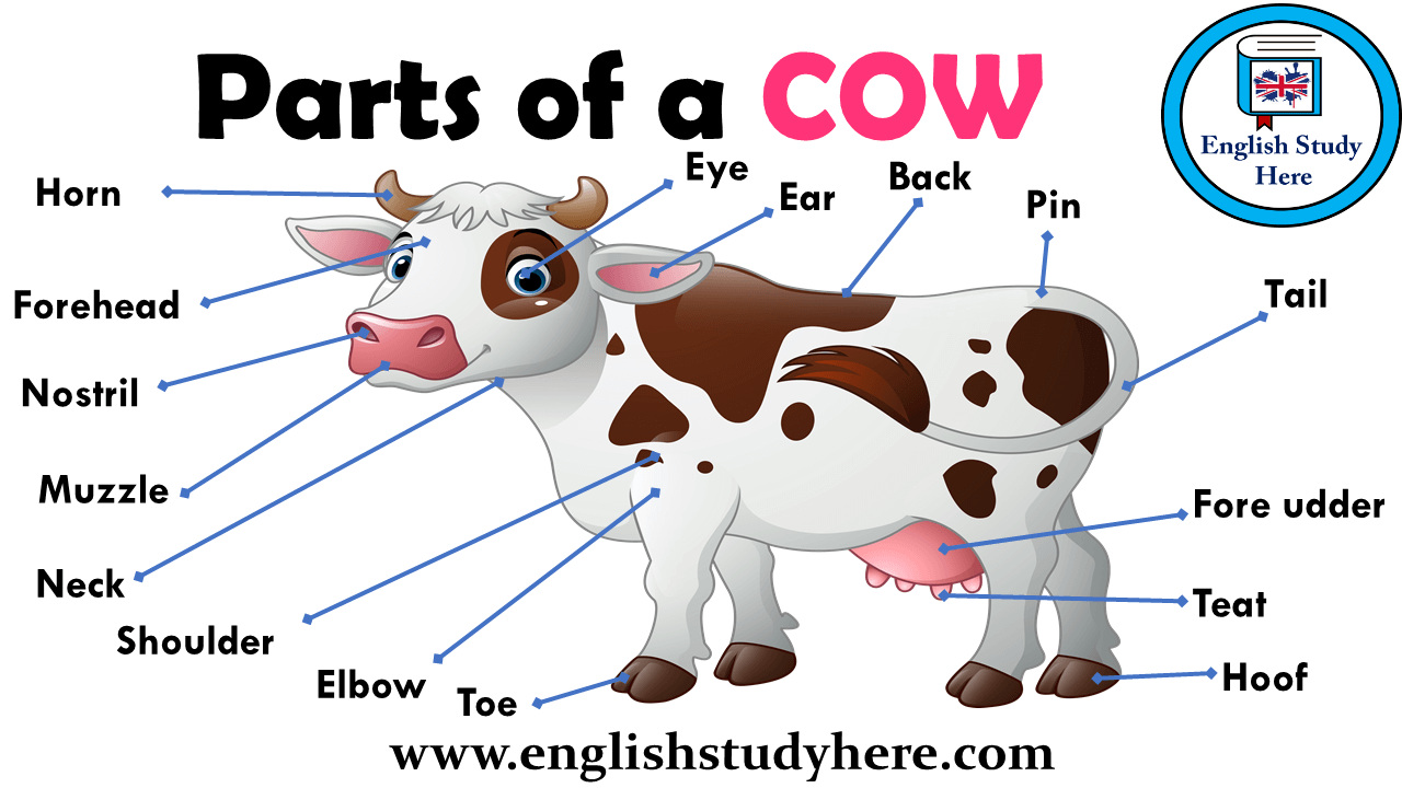 Parts of a COW Vocabulary  English Study Here