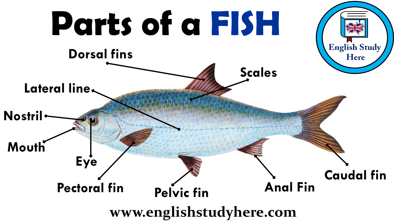 Parts of a FISH Vocabulary  English Study Here