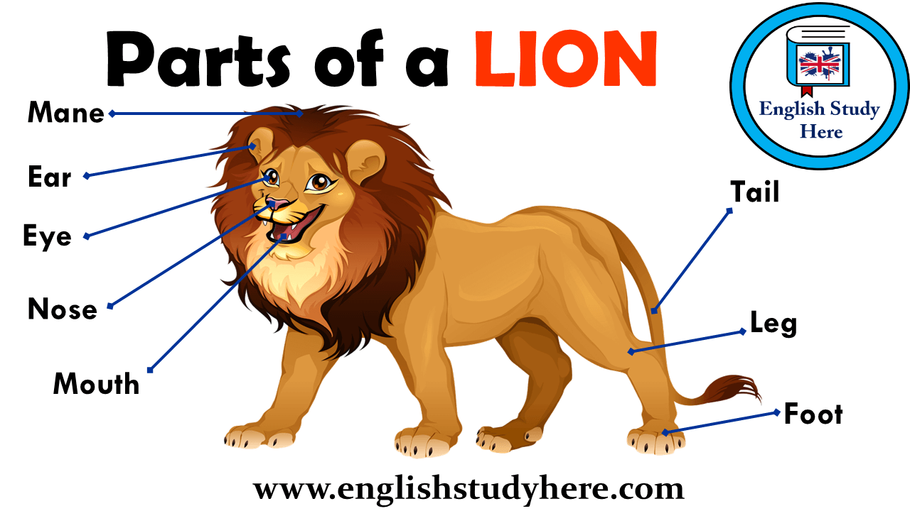 Parts of a LION Vocabulary  English Study Here