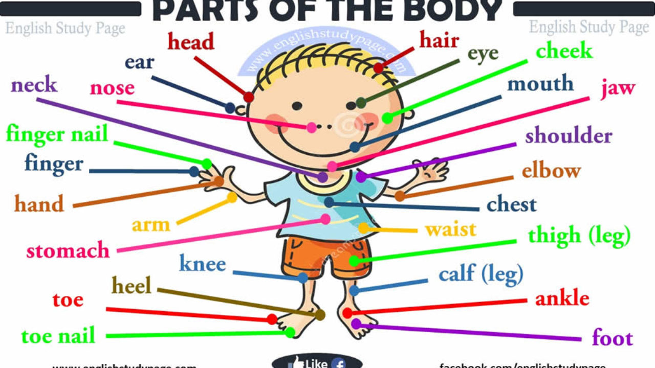 Parts Of Human Body English Study Page