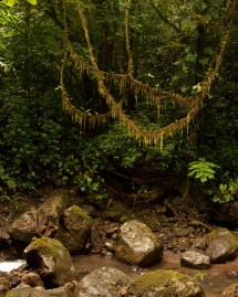 Vine between trees - the original suspension bridge.