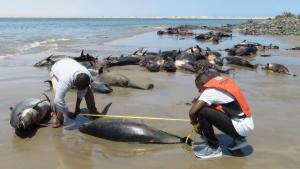 Co mohlo zabít desítky delfínů, které lidé našli na pláži v Namibii