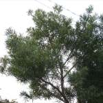 高枝のこぎり-シルキー ハヤテ