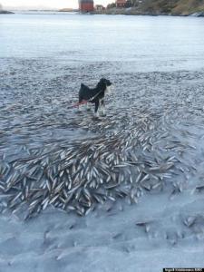 ノルウェーで魚が群れごと瞬間凍結