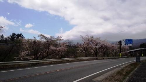 須走 桜 富士浅間神社