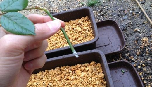バラの挿し木!簡単な方法をわかりやすく!