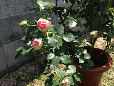 ピエールドゥロンサールの鉢苗の咲きかけ蕾