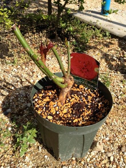 ルージュピエールドゥロンサールの大苗を6号鉢に植え替え後外で