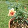 弱ったバラが復活!その2