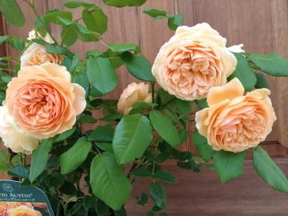 01クラウンプリンセスマルガリータのお花