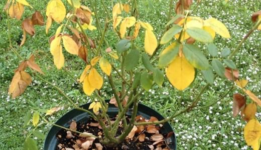 バラ(クレア・オースチン)の鉢植えが枯れそうです・・・