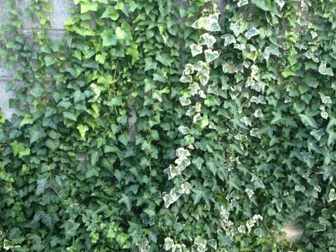 ブロック塀を覆うアイビーアップ