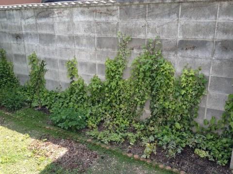 ブロック塀をアイビーが覆う03