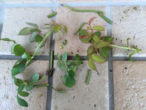 クレアオースチンの芽をとる