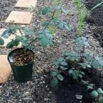 バラは地植えと鉢植えでどちらが良い?2回目
