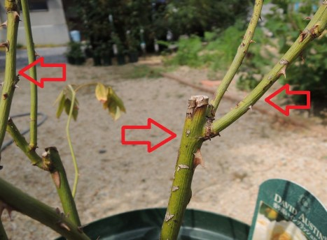 クレアオースチンの茎にシワ1