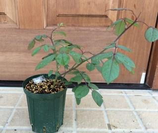 レディエマハミルトン鉢植え1