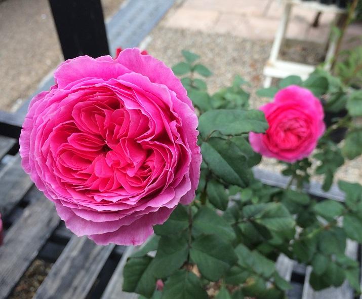 15バラゆうぜんの花