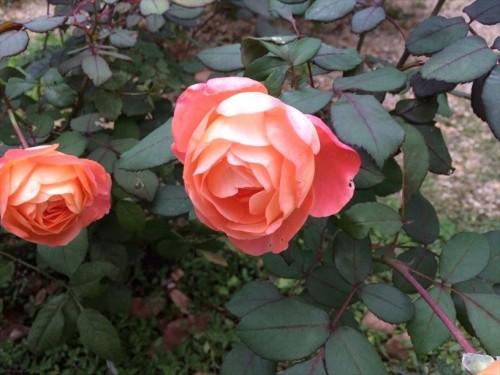 夏剪定後のバラが開花004