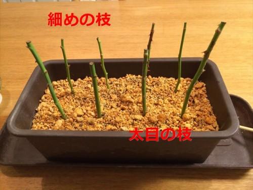 バラが挿し木(冬)009