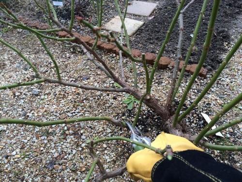 フトコロ枝を切る
